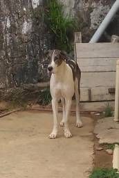 Dog Alemão fêmea