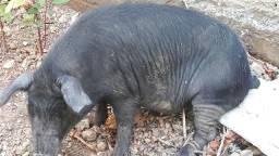 Vendo esse porco tá na faixa de 50 kilos mas ou menos não tá muito gordo e nem magro