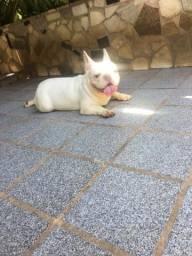Bulldog Francês macho branco disponível para inseminação ou cruza