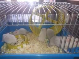 Vende-se filhotes de Hamster Sírio