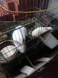 Vende filhote de coelho normal