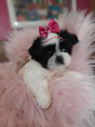 Shih tzu mini linda !!!!
