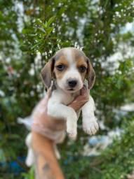 Beagle Filhotes de raça pura com garantias e custos imbatíveis leia a descrição