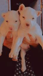 Filhotes de Pitbull R$ 700,00  *  whats