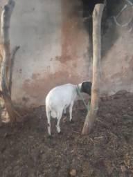 Título do anúncio: Carneiro reprodutor raça SOINGA p/ regiões secas (aridas)