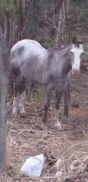 Título do anúncio: Troco cavalo garanhão apaloosa. Em Crato