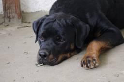 Título do anúncio: Lindo Rottweiler