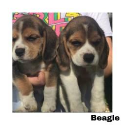 Título do anúncio: Beagle com pedigree e micro chip em até 12c