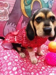 Beagle fêmea capa preta