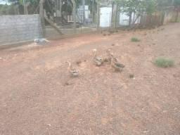 lindos filhotes de marrecos com topetes