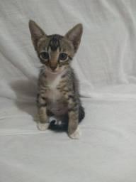 Gatinho filhote macho para adoção