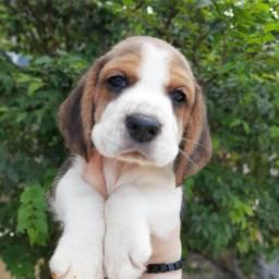 Título do anúncio: Beagle 13 Polegadas Filhotes Pedigree Garantia