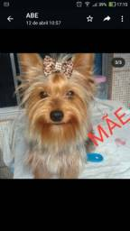 Título do anúncio: Venda de cachorro yorkshire