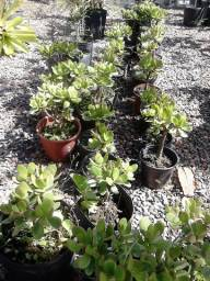 Planta Bálsamo