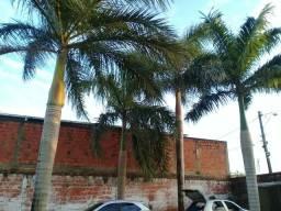Palmeira imperiais 5.000$