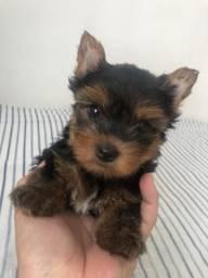 Yorkshire Terrier Micro de pais pedigree