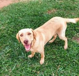 Labrador com 7 meses