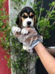 Beagle 13 polegadas, bicolor e tricolor, com suporte veterinário gratuito, *