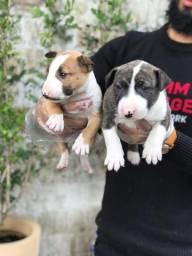 Bull Terrier Inglês Pirata/fulvo/tricolor/White e black brindler, machos e fêmeas