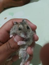 Título do anúncio: Vendese hamster anão russo