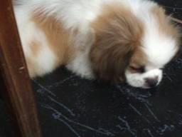 Título do anúncio: Cachorro pequinês Mini baratooo!