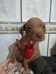 Título do anúncio: Pitbull terrier red nose machos.