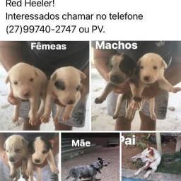 Vendo filhote de cachorro Blue Heeder com red Heeder