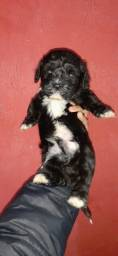 Título do anúncio: Filhote de poodle