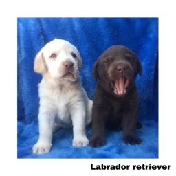 Título do anúncio: Labrador com pedigree e micro chip em até 12x