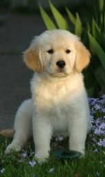 Cachorro lindos ^ Golden Retriever filhote com pedigree e vacina importada