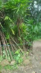 Mudas de ráfias, palmeiras, ciclanas