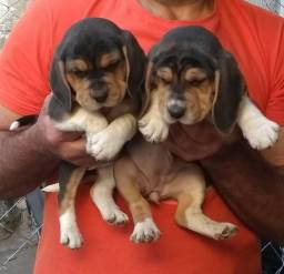 Beagle com pedgree e microchip
