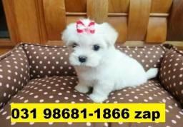 Canil Cães Lindos Filhotes BH Maltês Shihtzu Yorkshire Beagle Basset Poodle Lhasa