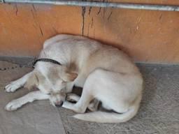 Lindos cães para adoção responsavel