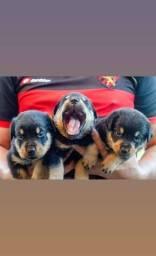 Filhotes de Rottweiler PROMOÇÃO