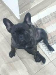Vendo uma linda cadela da raça Bulldog francês