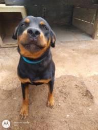 Título do anúncio: Rottweiler 1 ano