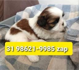 Título do anúncio: Canil Belos Filhotes Cães BH Lhasa Basset Shihtzu Maltês Yorkshire Beagle Poodle