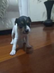 Filhote terrier brasileiro macho