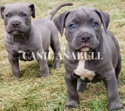 Título do anúncio: Canil Registrado e Especializado American Bully Últimos Filhotes - Pitbull