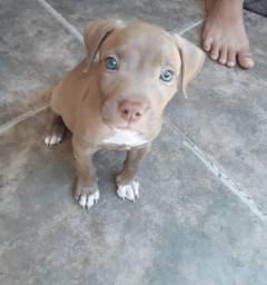 Filhote de pitbull (fêmea), está com 2 meses de vida.