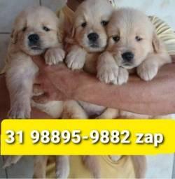 Título do anúncio: Canil Filhotes Cães Padrão Exposição BH Golden Labrador Boxer Rottweiler Pastor Akita