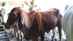 Título do anúncio: Vaca com bezerra