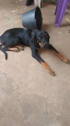 Vendo cachorro Rottweiler macho