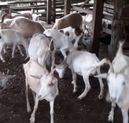 Cabras, cabritos e ovelhas