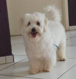 Título do anúncio: Estou doando um poodle Camaçari