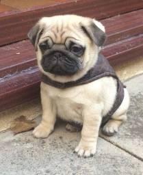 Porte pequeno Pug filhote com pedigree e vacina importada
