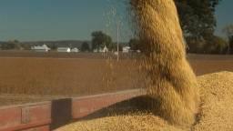 Milho Consumo Humano e Logística a combinar