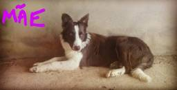 Filhotes de Border collie puros na cor chocolate