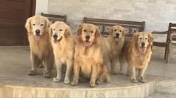 Vendo filhotes de golden retriever